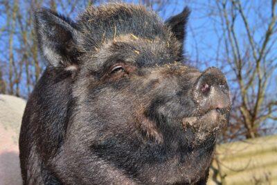 Saluto romano: Wildschweinereien an Tiber und Spree